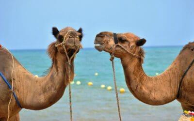 Morocco Chernaki Surf Experience activities camel ride